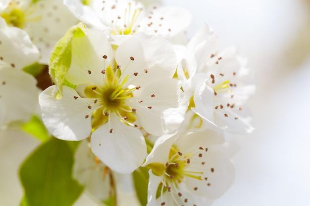 Fiore di ciliegio in primavera Foto Premium