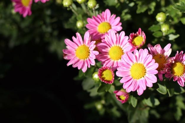 Fiore di crisantemo in tropicale Foto Premium