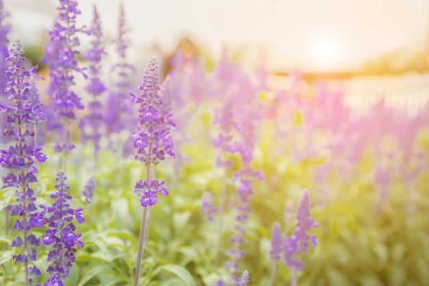 Fiore di lavanda bello e luminoso viola Foto Premium