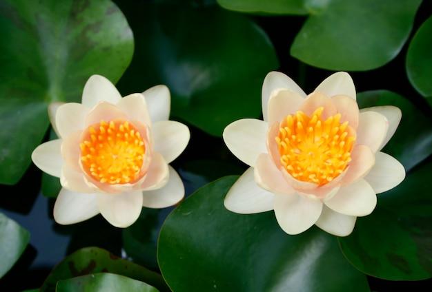 Fiore di loto colorato con reaf verde Foto Premium