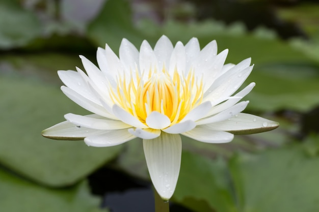 Fiore di loto del primo piano Foto Premium