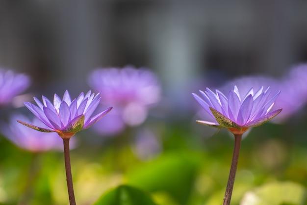 Fiore di loto fiore lilly sull'acqua Foto Premium