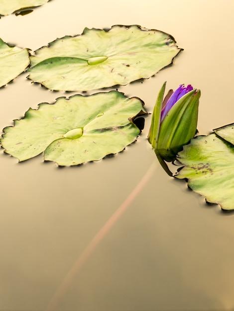 Fiore di loto nello stagno della città Foto Premium
