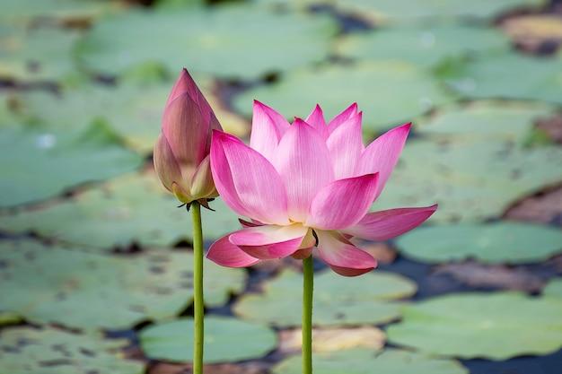 Fiore di loto rosa che fiorisce tra lussureggiante foglie in stagno sotto il sole estivo luminoso Foto Premium
