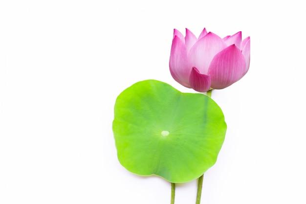 Fiore di loto rosa con le foglie verdi su fondo bianco. Foto Premium