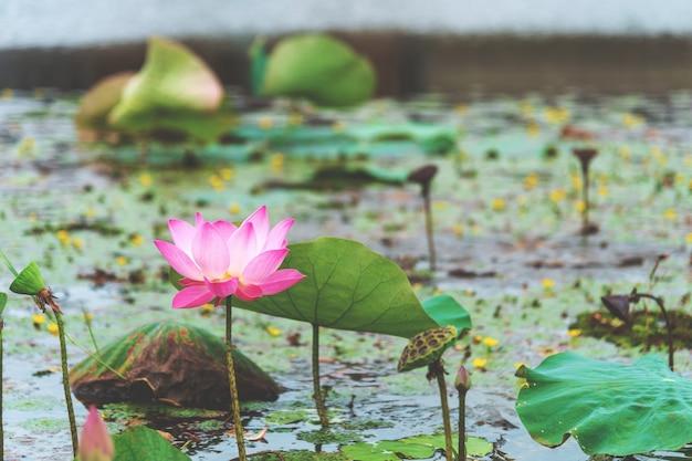 Fiore di loto rosa del primo piano Foto Premium
