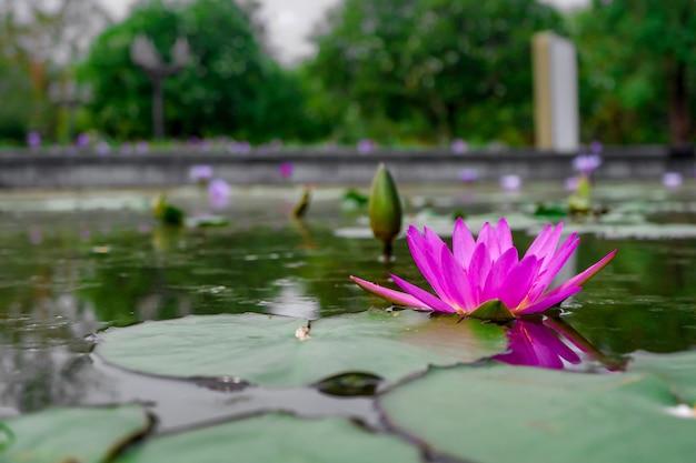 Fiore di loto rosa Foto Premium