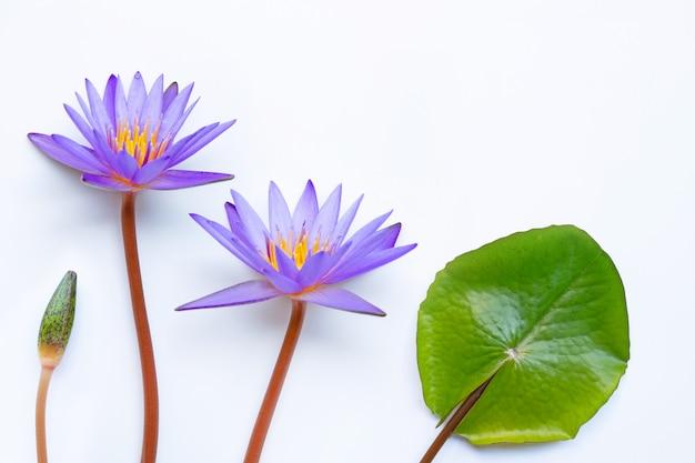 Fiore di loto viola che fiorisce sul bianco. Foto Premium