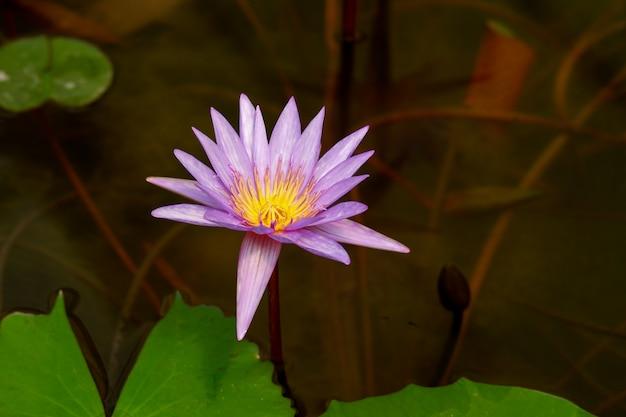 Fiore di loto viola con la fine in su Foto Premium