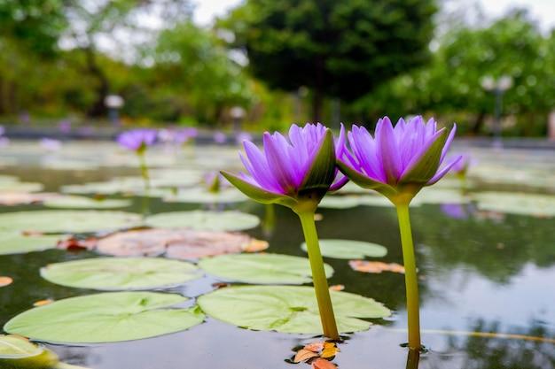 Fiore di loto viola Foto Premium