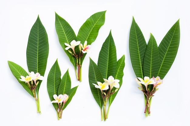Fiore di plumeria con foglie su sfondo bianco. Foto Premium