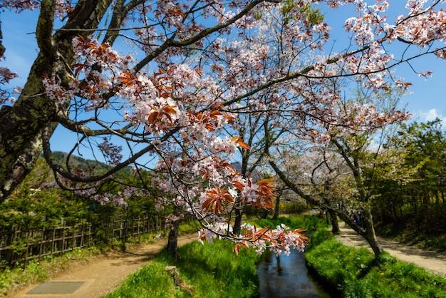 Fiore di sakura nel villaggio di oshino hakkai Foto Premium