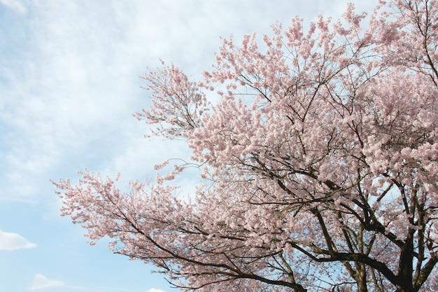 Fiore di sakura o cherry blossom. Foto Premium