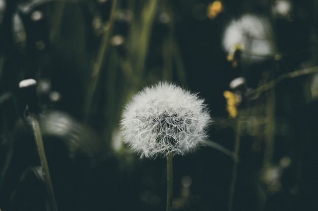 Fiore di tarassaco, naturale Foto Premium