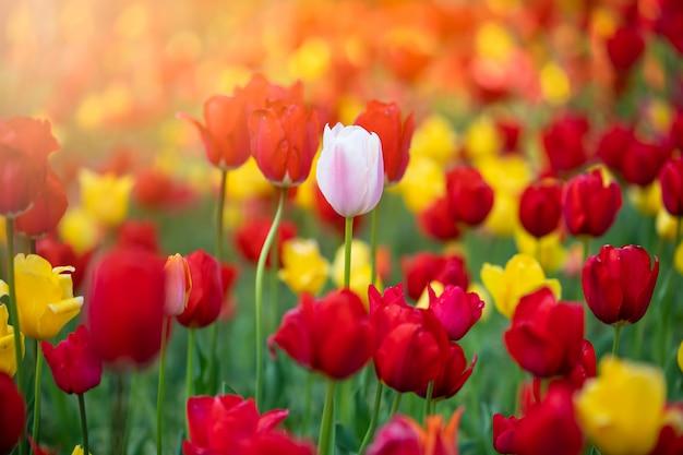 Fiore di tulipano in giardino Foto Premium