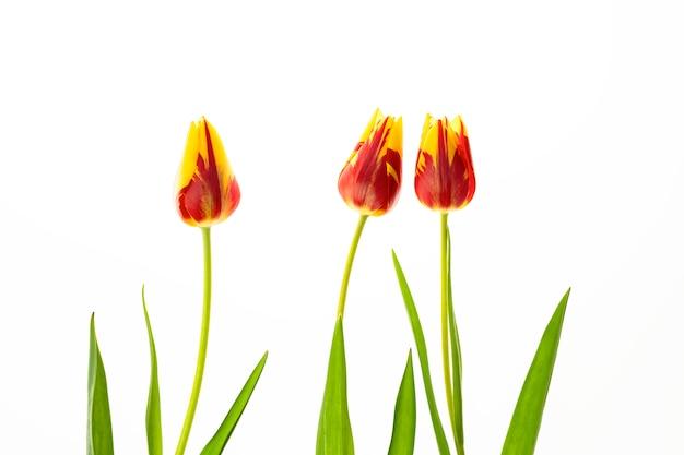 Fiori Giallo Verdognoli A Grappolo.Fiore Di Tulipano Rosso E Giallo Con Foglie Verdi Su Sfondo Bianco