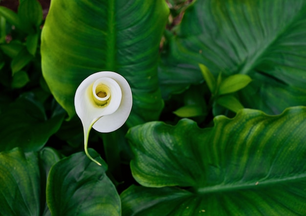Fiore fiore di calla in foglie verdi Foto Premium