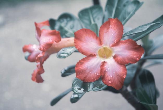 Fiore rosa che fiorisce con il fondo fresco della natura della molla della goccia di pioggia Foto Premium