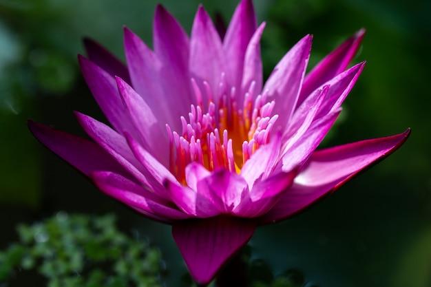 Fiore rosa della ninfea del loto del primo piano Foto Premium