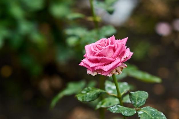 Fiore rosa della rosa con le gocce di pioggia sui fiori delle rose di rosa del fondo Foto Premium