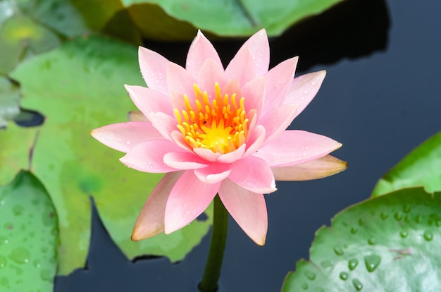 Fiore rosa fiore di loto Foto Gratuite