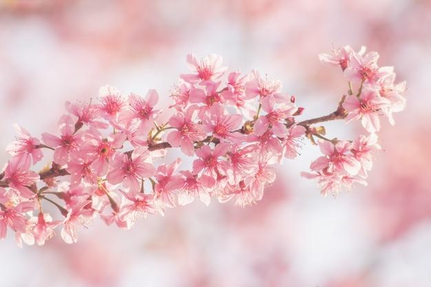 Fiore rosa sakura, fiore di ciliegio, fiori di ciliegio dell'himalaya Foto Premium