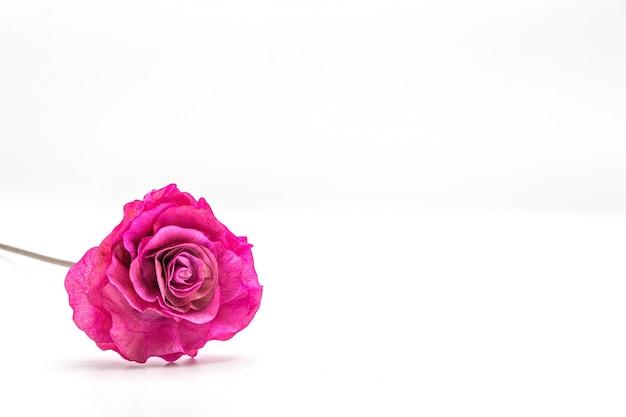 Fiore secco della rosa di rosa isolato Foto Premium