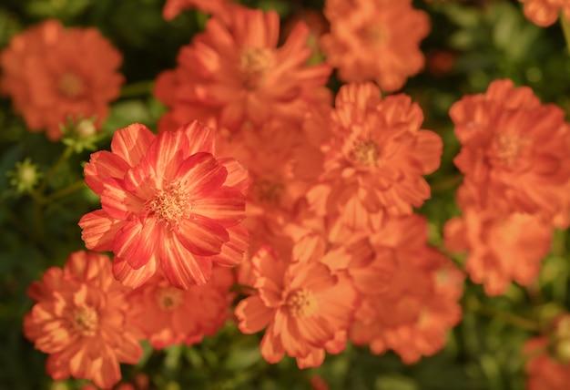 Fiori arancio cosmi dell'universo in giardino, vista dall'alto Foto Premium