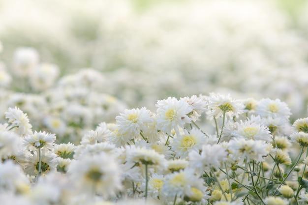 Fiori bianchi del crisantemo, crisantemo nel giardino. fiore sfocato per sfondo, piante colorate Foto Premium