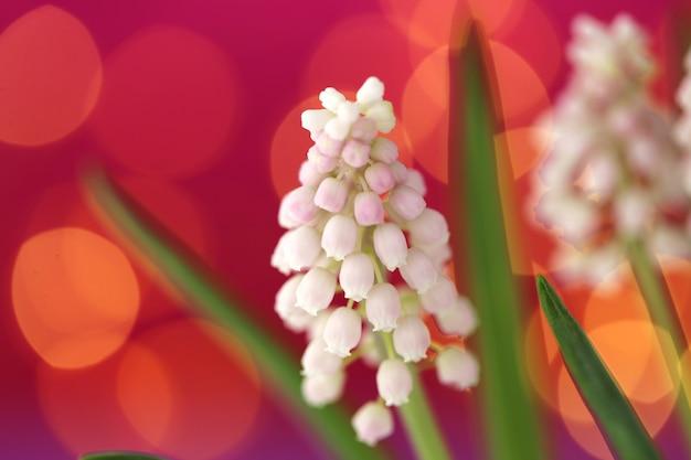Fiori bianchi del muscari su rosa-porpora con il fondo giallo del bokeh Foto Premium