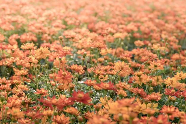 Fiori cosmo arancio cosmo in giardino Foto Premium