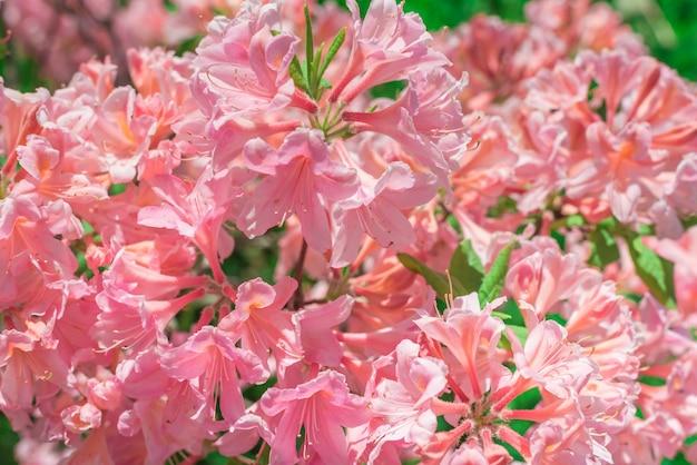 Fiori del primo piano del rododendro rosa. Foto Premium