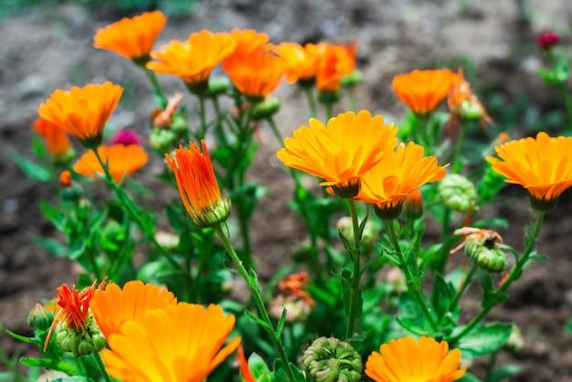 Fiori di calendula in giardino Foto Premium