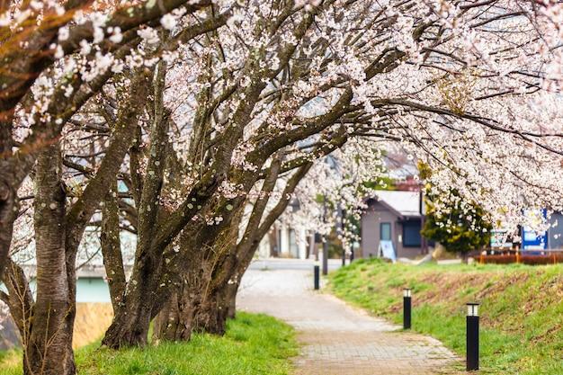 Fiori di ciliegio lungo il percorso a piedi nel lago kawaguchiko durante il festival di hanami Foto Premium