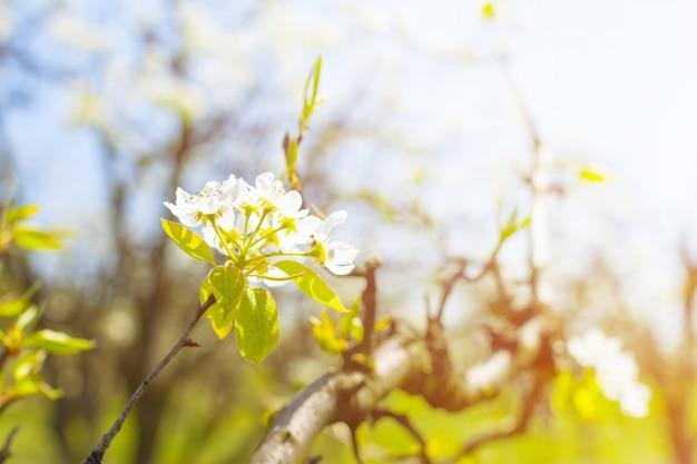 Fiori di ciliegio su sfondo sfocato natura Foto Premium