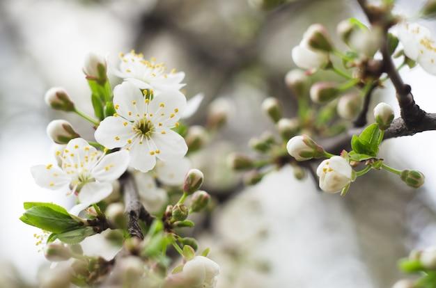 Fiori di ciliegio. Foto Premium