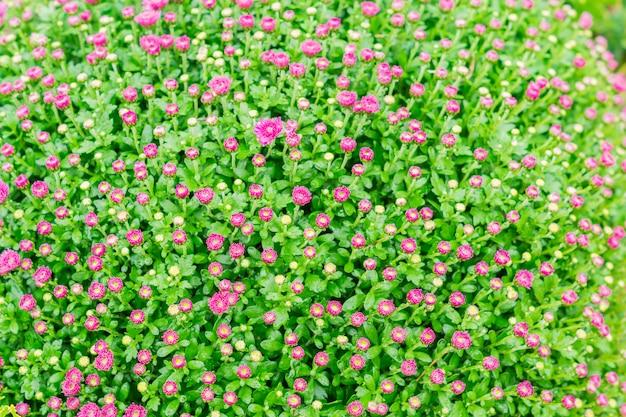 Fiori di crisantemo. campo di crisantemi rosa. Foto Premium
