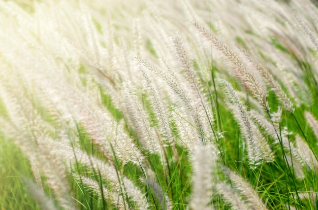 Fiori di erba bianca con sfondo sfocato Foto Premium