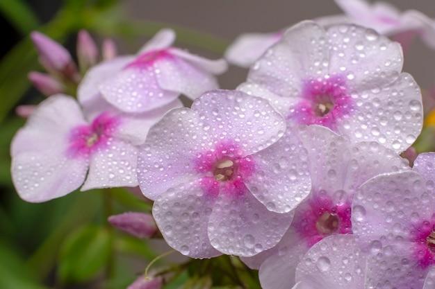 Fiori di flox su naturale. phlox rosa e foglie verdi con gocce d'acqua Foto Premium