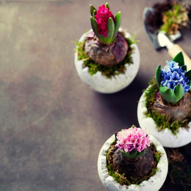 Fiori di giacinto rosa, rosso e blu Foto Premium