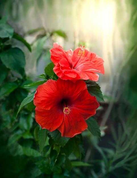 Fiori di ibisco rosso in sfondo sfocato Foto Premium