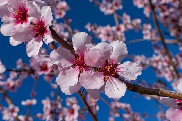 Fiori di mandorlo (prunus dulcis), fioritura Foto Premium