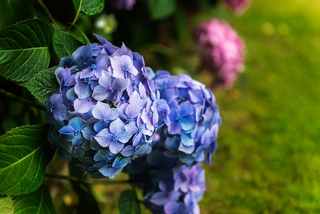 Fiori di ortensia in giardino Foto Premium