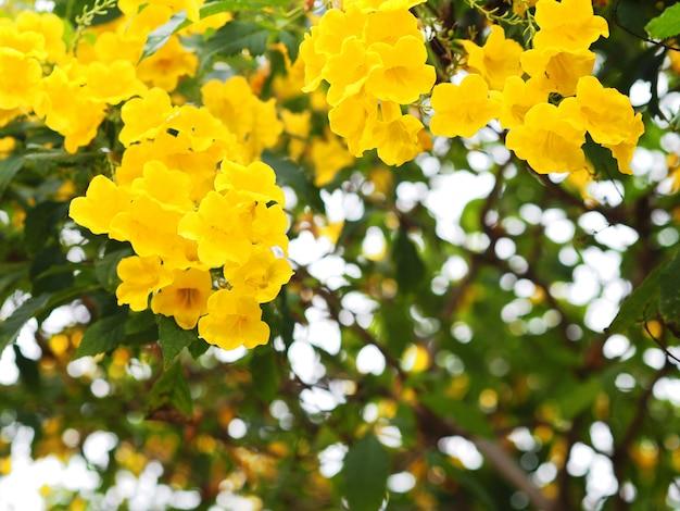 Fiori gialli di elder o trumpetbush Foto Premium
