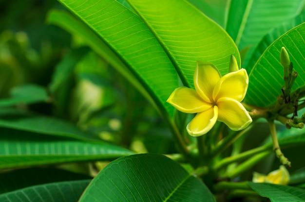 Fiori gialli di plumeria con il fondo delle foglie Foto Premium