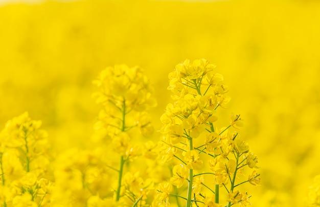 Fiori gialli nel giardino e sfondo astratto giallo Foto Premium