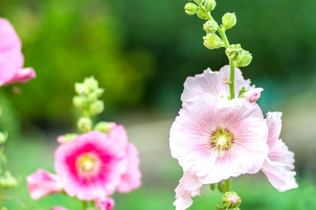 Fiori holly hock (hollyhock) bianchi nel giardino Foto Premium