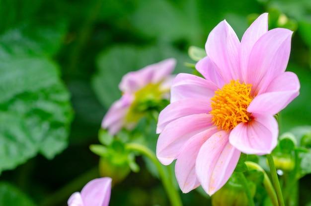 Fiori rosa, sfondo sfocato Foto Premium