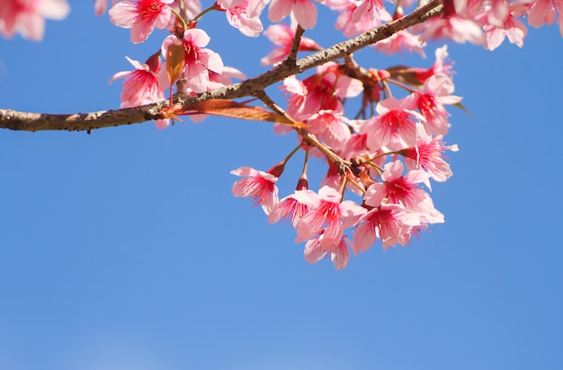 Fiori selvaggi della ciliegia himalayana o sakura attraverso cielo blu Foto Premium