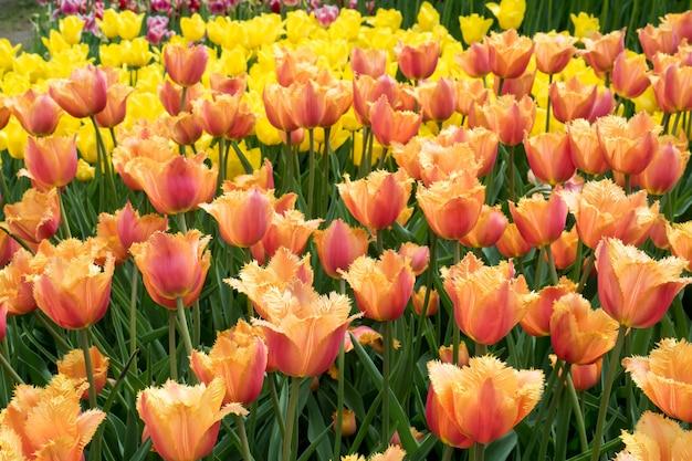 Fiori variopinti dei tulipani che fioriscono in un giardino Foto Premium